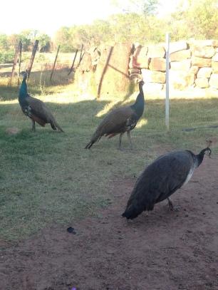 Renner Springs peacocks