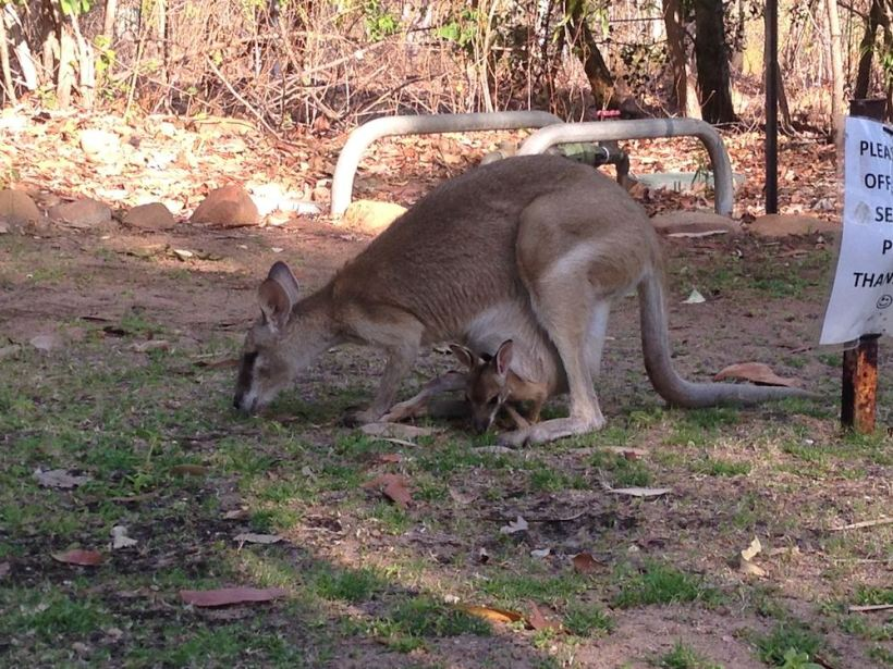 Wallaby + baby!